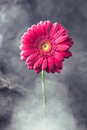Pink gerbera flower in smoke close up view Royalty Free Stock Image