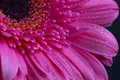 Pink gerbera flower with water drops on petals Royalty Free Stock Photo