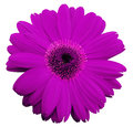 Pink gerbera flower, white isolated background with clipping path.   Closeup.  no shadows.  For design. Royalty Free Stock Photo