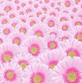 Pink gerbera flowers Stock Photography