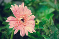 Pink gerbera flowers on green blurred background Royalty Free Stock Photo
