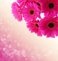 Pink gerbera flowers isolated . Royalty Free Stock Photo