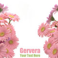 Pink gerbera frame Royalty Free Stock Photo