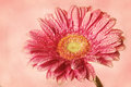 Pink gerbera with retro filter effect Stock Images