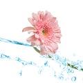 Pink gerbera splash Royalty Free Stock Photo
