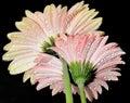 Pink gerber