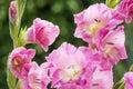 Pink gladiolus flowers Royalty Free Stock Photo