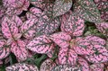 Pink and Green Ground Cover