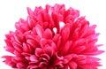 Pink guldaudi flower Stock Photography