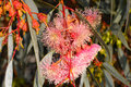 Pink Gum or Eucalypt blossoms Royalty Free Stock Photo