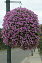 Pink hanging basket round petunia Stock Images