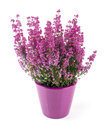 Pink heather planted in pot on white isolated background Royalty Free Stock Image