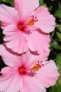 Pink Hibiscus Stock Photos