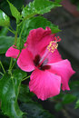 A pink hibiscus is blooming in a garden in hoi an vietnam on february un rose fleurit dans un jardin à viêtnam Stock Image