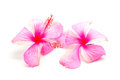 Pink hibiscus colorful flower isolated on a white background Stock Photo