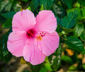 Pink Hibiscus flower Stock Photos