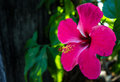 Pink hibiscus flower and a Stock Images
