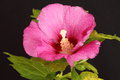 Pink hibiscus flower on a black background Stock Photo
