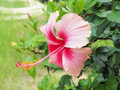 Pink hibiscus flower blooming in the garden pink flower in the b background blurred blossom is beautiful Stock Photo