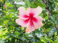 Pink hibiscus flower blooming in the garden pink flower in the b background blurred blossom is beautiful Stock Photos