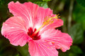 Pink hibiscus flower closeup Royalty Free Stock Photo