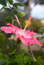 Pink hibiscus flower hibiscus flower closeup Royalty Free Stock Photo
