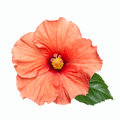 Pink hibiscus flower isolated Royalty Free Stock Photo