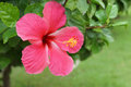 Pink hibiscus flower syriacus l Stock Images