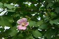 Pink hibiscus flower on the tree Stock Images