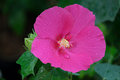 Pink hibiscus flowers Royalty Free Stock Photo