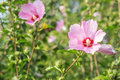 Pink Hibiscus Flowers In The G...