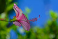 Pink hibiscus hibiscus rosa sinensis side profile with stamen set against bokeh background of blue sky and green foliage Royalty Free Stock Photo