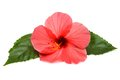 Pink hibiscus isolated on white background Stock Photos