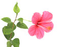 Pink hibiscus isolated on white background.