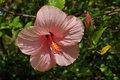 Pink  hibiscus Royalty Free Stock Photo
