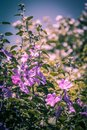 Pink Hollyhock blossoming in the daylight, beautiful garden flowers Royalty Free Stock Photo