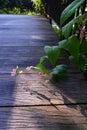 Pink Honolulu Creeper, Garden ...