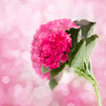 Pink hortensia flowers brunch on bokeh background Stock Image