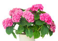 Pink  hortensia flowers Royalty Free Stock Photo