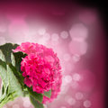 Pink hortensia flowers close up brunch on dark bokeh background Stock Photography