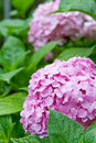 Pink hortensia in the garden closeup Stock Photos