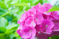 Pink hortensia macro of Stock Images