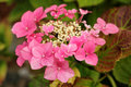 Pink hortensia single flower hydrangea Stock Photo
