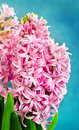 Pink Hyacinth Royalty Free Stock Photo