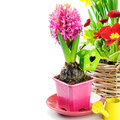 Pink hyacinth flower with bulb isolated over white Stock Images