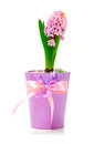 Pink hyacinth flowers Stock Images