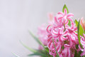 Pink hyacinth flowers. Close up detail Royalty Free Stock Photo