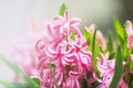 Pink hyacinth flowers. Close up detail Royalty Free Stock Photos