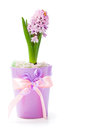 Pink hyacinth flowers isolated on white background Stock Photography
