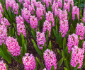 Pink Hyacinth Garden Royalty Free Stock Photo